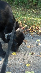 Dog 4 months old -sniffing leaves